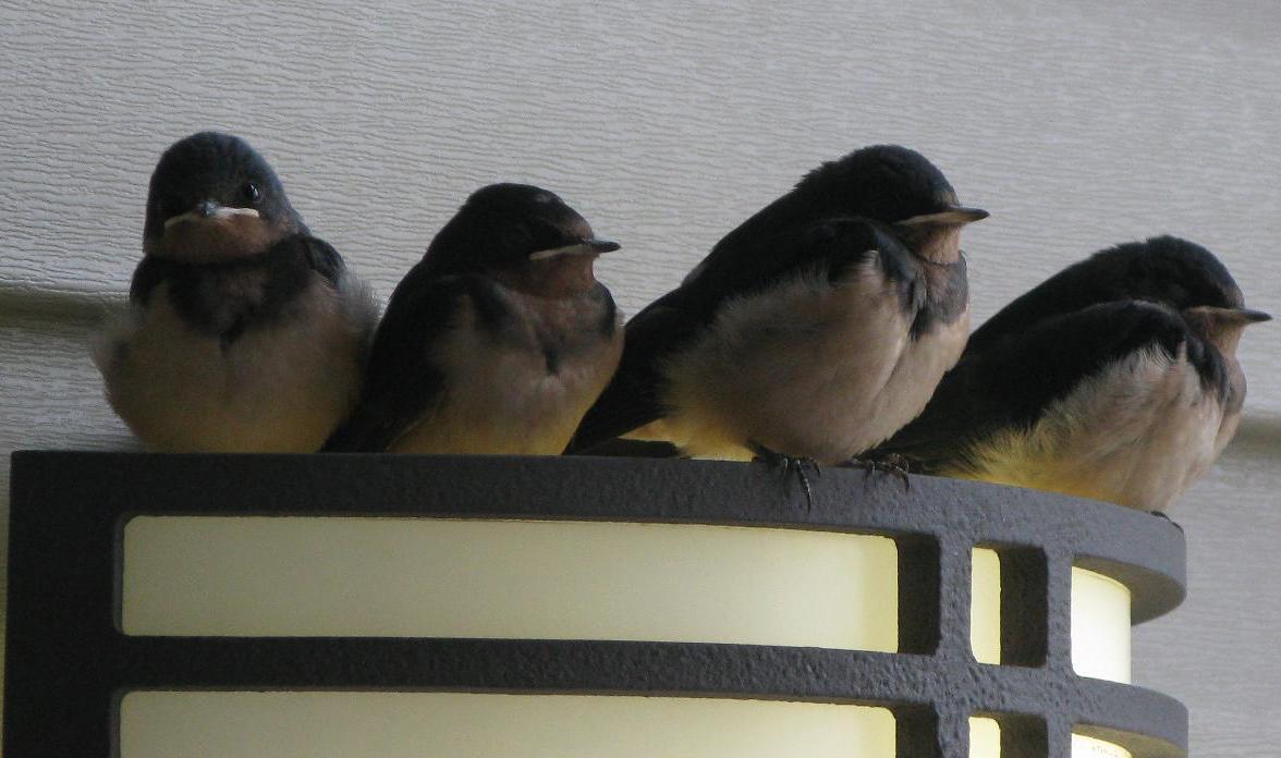 Barn Swallow Babies leave nest by Garrylindsay