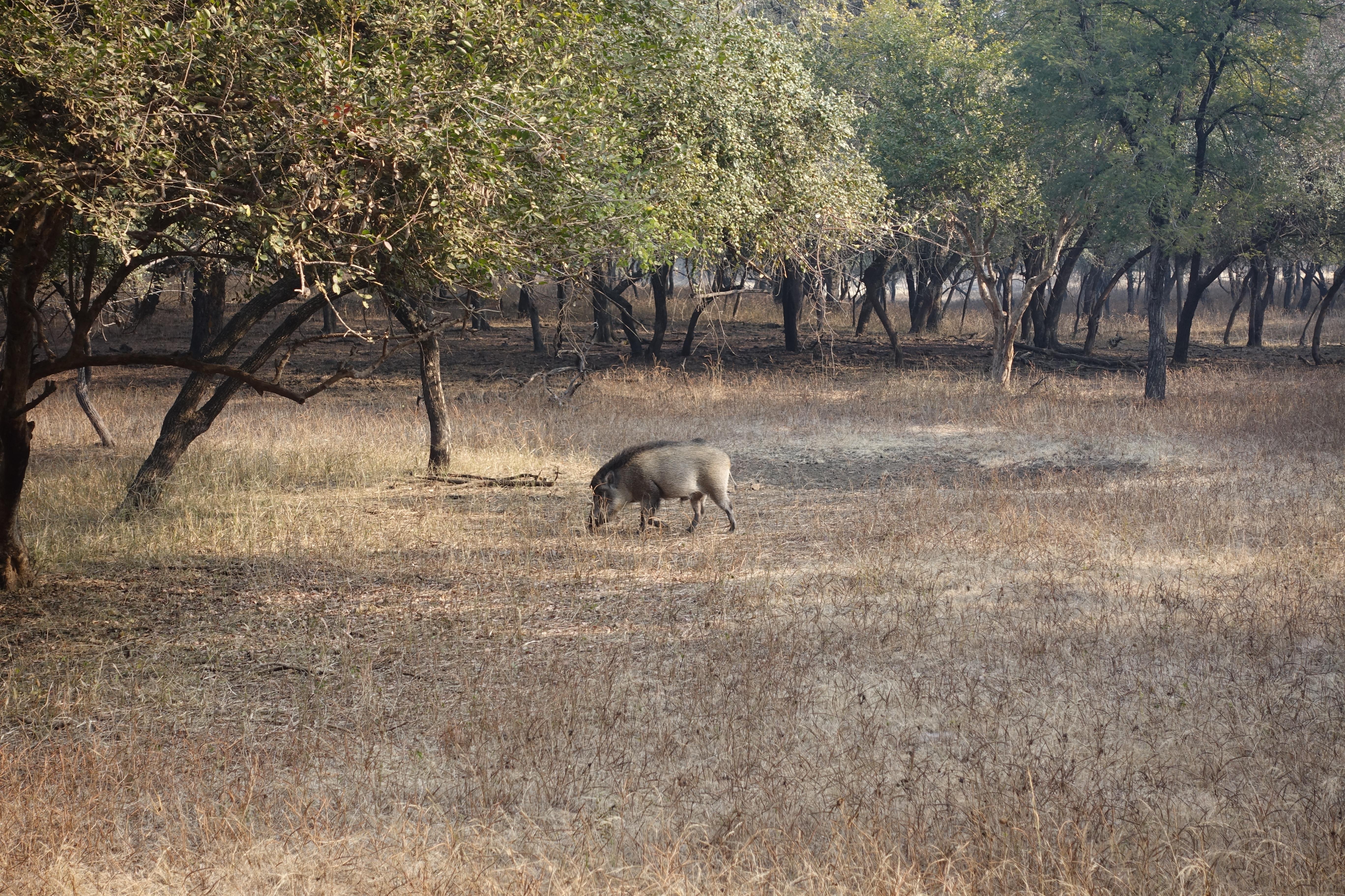 Wild Boar in Ranthambhore National Park - photo by Juliamaud