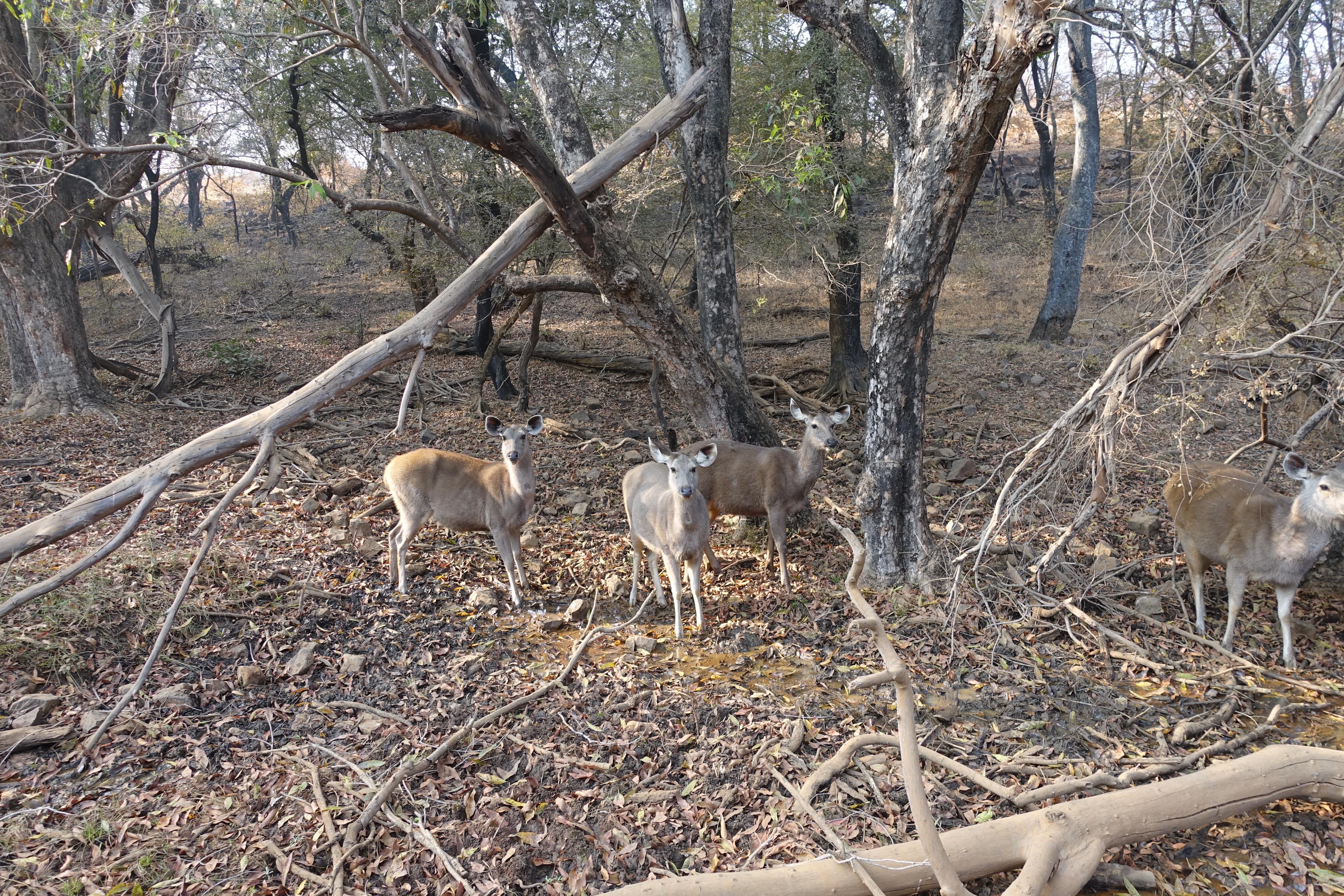 Deer in Ranthambhore National Park - photo by Juliamaud