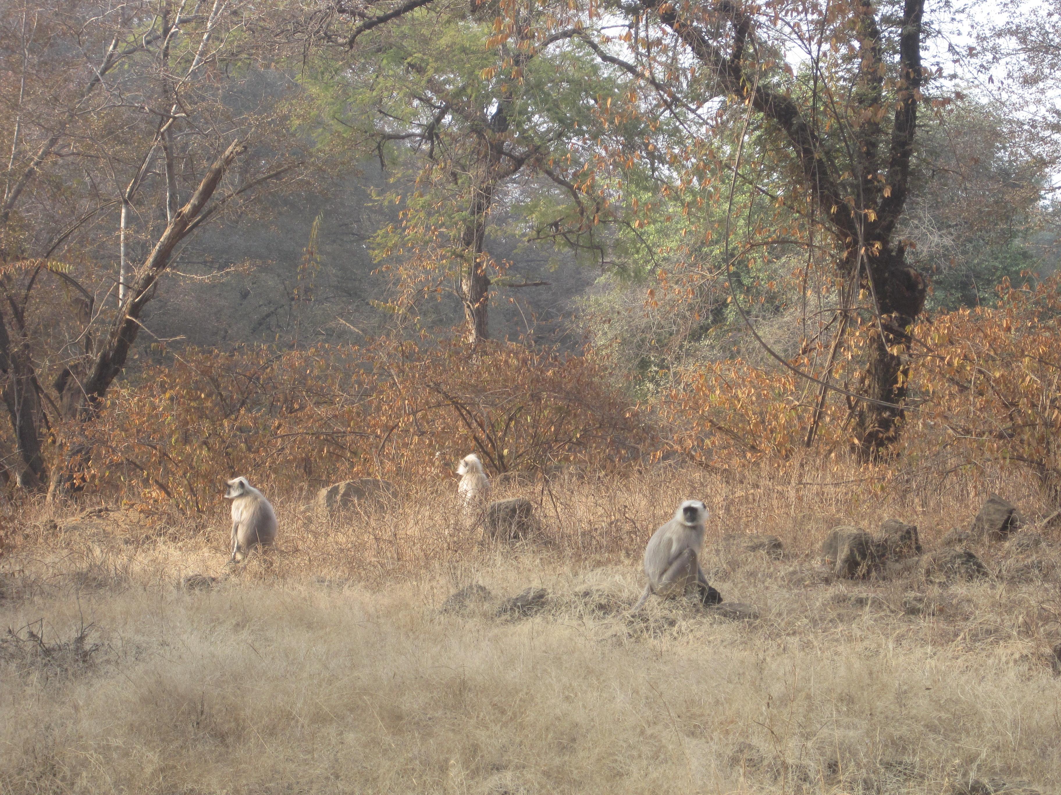Monkeys in Ranthambhore National Park - photo by Juliamaud